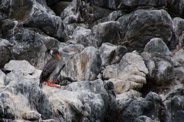 Diesen Kormoran haben wir schon mal in Peru gesehen er ist besonders geschützt und selten
