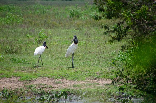 Jaburu, größter Storch und Wahrzeichen des Pantanal