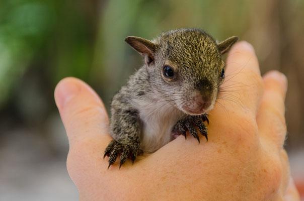 """""""Pedro"""" Das Findelsquirrel wird mit der Hand aufgezogen"""