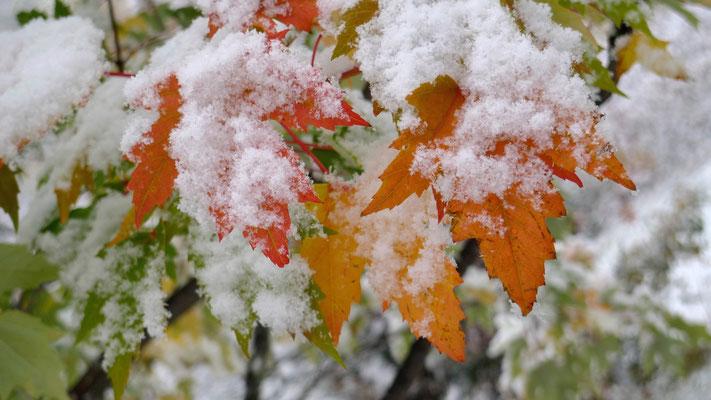 Feuilles sous la neige, Pralonzet, Zinal, Anniviers, Valais, Ch,  P1140498.JPG