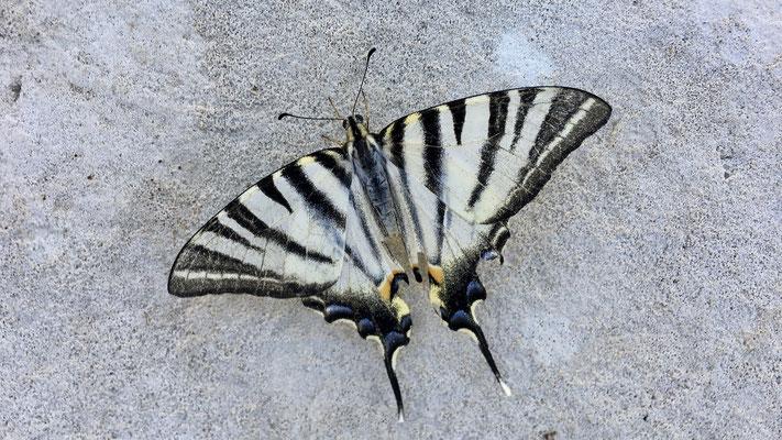 Papillon, les Adrechs, Ampus, F,