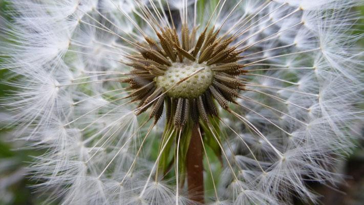Fleur de pissenlit, Les Adrechs, Ampus,  F,