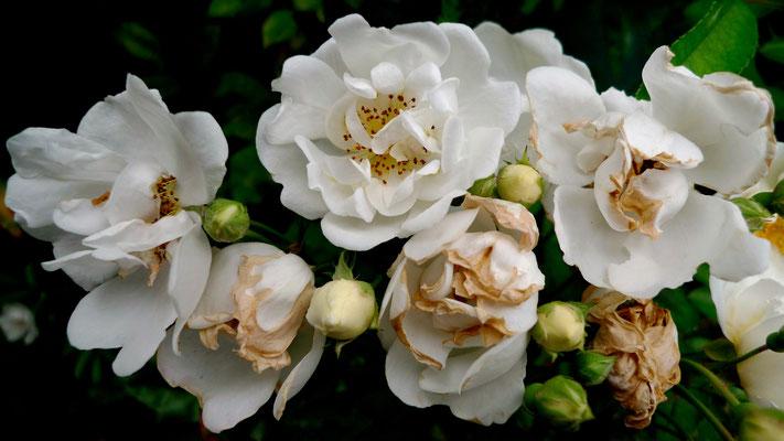 LX3, Roses, Terrasse St Louis, Paris, F,  P1000014.JPG