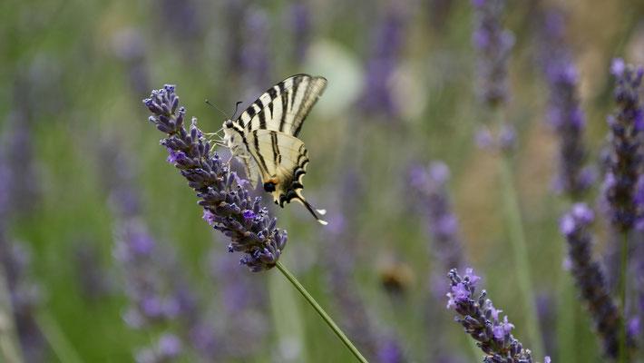 Papillon sur lavandes, les Adrechs, Ampus, F,