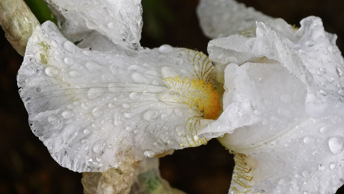Iris blanc sous la pluie, Les Adrechs, Ampus, Var, F,
