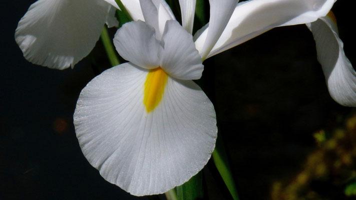 Iris blanc,  Jardin de Claude Monet, 27620 Giverny , Eure, F,  P1000421.JPG