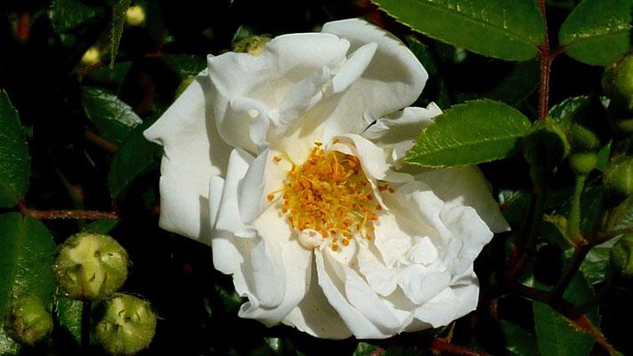 Rose, Fleurs, Terrasse Saint Louis, 75010 Paris, F,  P1000201.JPG (1).jpg