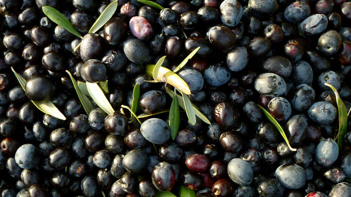 Virgule, Oliviers, cueillette des Olives, Ampus, F,  P1030212