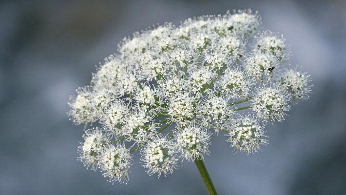 Fleur, Argentières,  Chamonix, F,