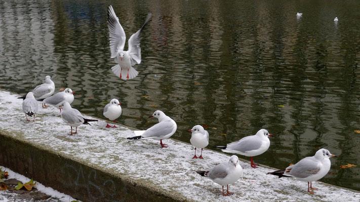 Mouettes, Canal Saint Martin, Paris, F, P1160085.JPG