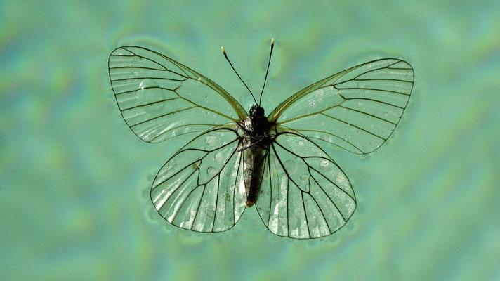 Papillon, les Adrechs, 83111 Ampus, F,