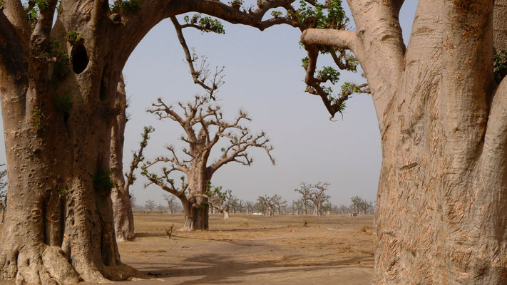 Baobabs, La Somone, Sénégal, Sn,  P1090136.JPG.jpg
