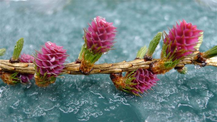 Fleurs de Mélèze, Pralonzet, Zinal, Anniviers, Valais, Suisse, Ch,   P1090559.JPG.jpg