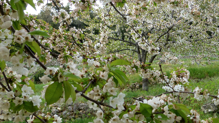 Cerisier en fleur, Les Adrechs, Ampus,  F,