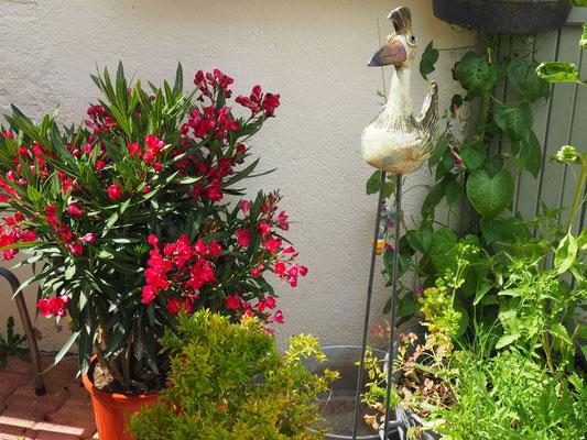 Ein Oleander wurde in die Pflanzfamilie aufgenomme