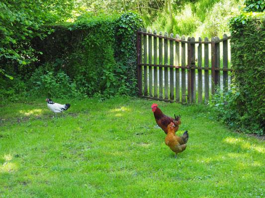 Die Hühner, wie meist, ganz zuhinterst