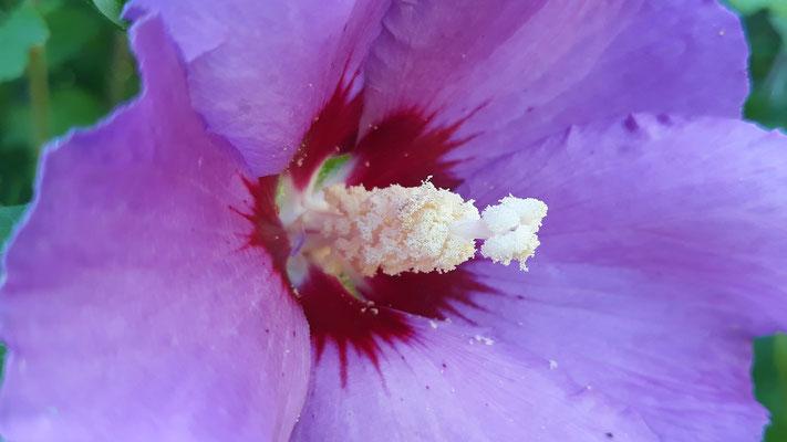 19.07. die lila Hibiskusblüte, ganz offen ...