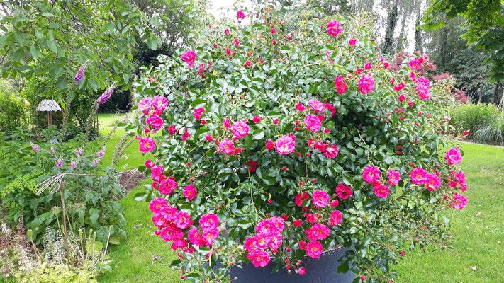 06.06. Das Rosenbäumchen hängt schon schwer mit seinen Blüten