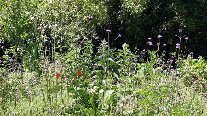 07.06. Wildnis im ehemaligen Permakulturbett - mit violett blühendem Eisenkraut