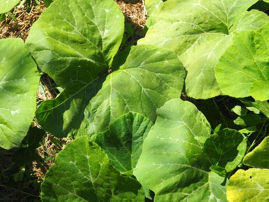 Blätterdschungel der Kürbisse & Zucchini