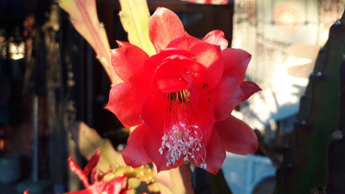 20.06. Erblühender Kaktus