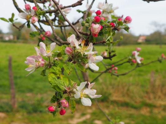 Dann kommen die Apfelblüten