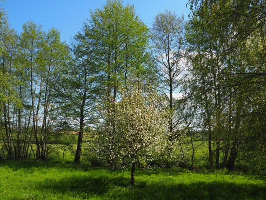 der kleine Apfelbaum - beschützt von den anderen Bäumen