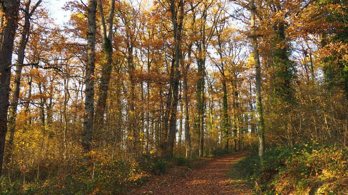Ein schöner Eichenwald