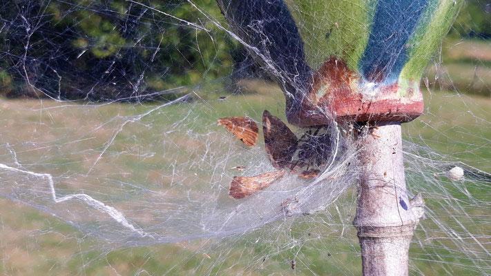 19.07. In den umgekehrten Töpfen leben Spinnen und Wespen nebeneinander