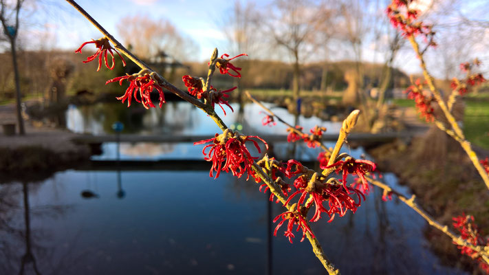 17.01. Hamamelis in voller Blühte
