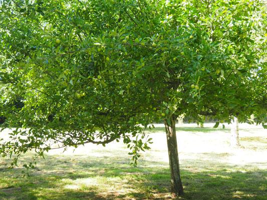 Ein gut tragender Apfelbaum