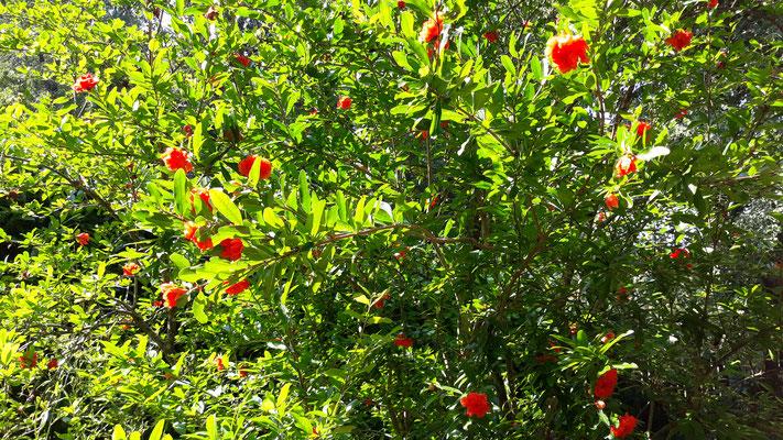 08.07. Granatapfelblüte