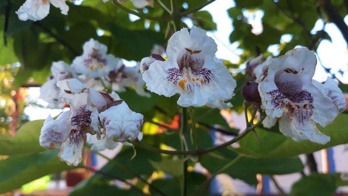 20.06. Die Blüten der Catalpa - Bohnenbaum - steht bei der Gitane
