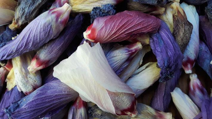 19.07. die verblühten Hibiskusblüten sammle ich für Tee