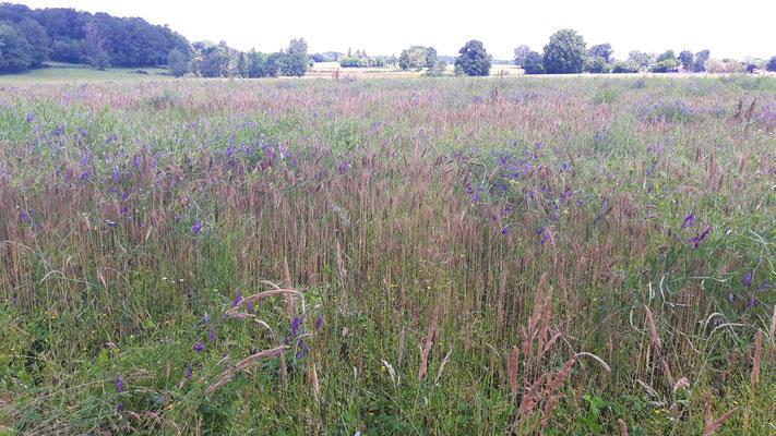 08.06. Der Weizen von meinem Bio-Nachbarn ist voller violetter Winde