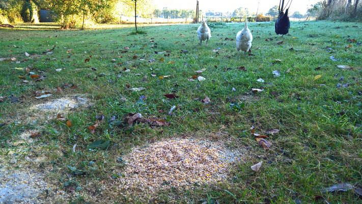 08.09. Die Hühner wackeln davon
