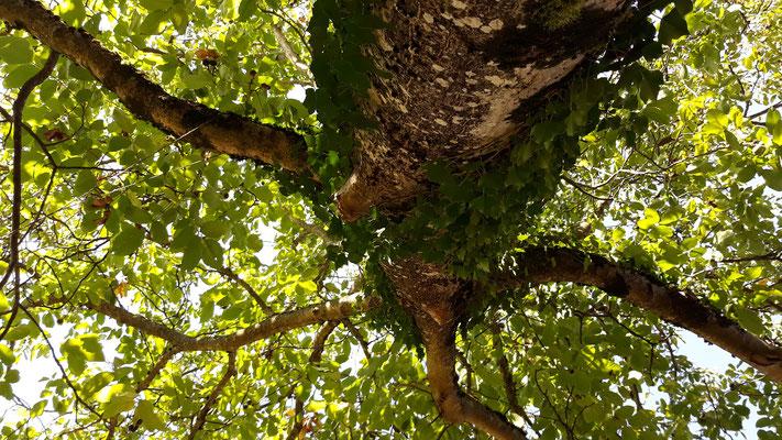 18.09. Liegend unter dem Nussbaum