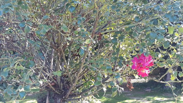 Auch das Rosenbäumchen blüht noch einmal