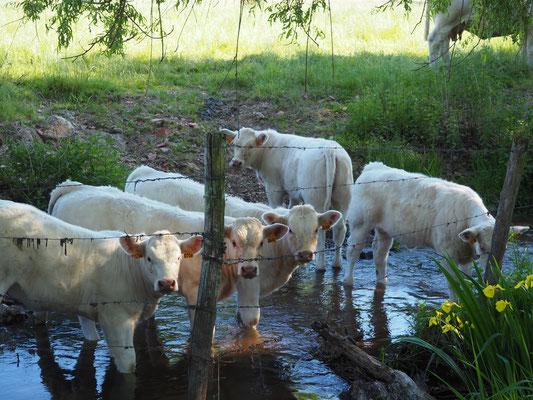 Die Kühe kommen alle zum Schauen...