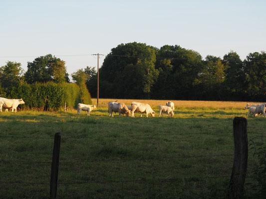 Die Herde mit Stier, Kühen und Kälbern in der Abendsonne