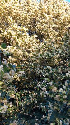 20.06. man hat den Eindruck tausende Bienen laben sich daran