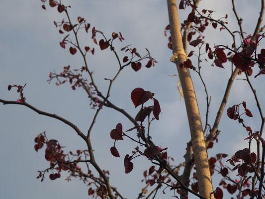 """Der Judasbaum macht """"herzige"""" Blätter"""