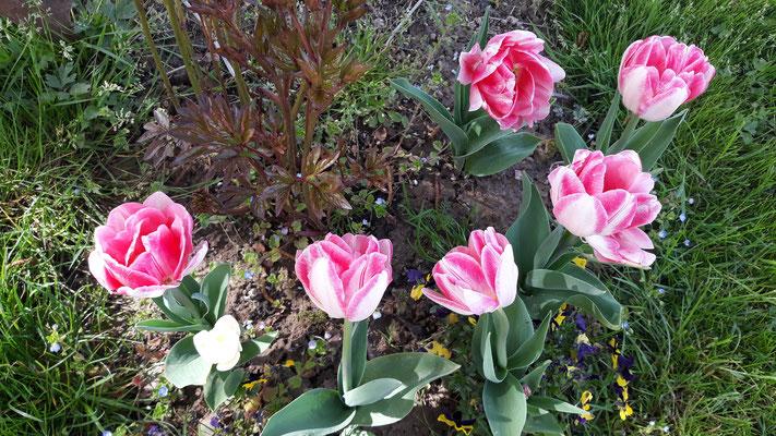 12.04. Die Tulpen blühen in diesem Jahr über Wochen