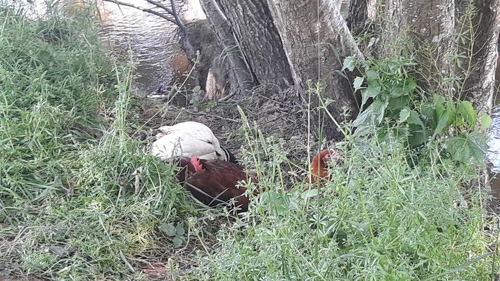 Hühner machen Siesta an der Somme