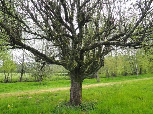 Ein anderer, ebenfalls sehr alter Apfelbaum