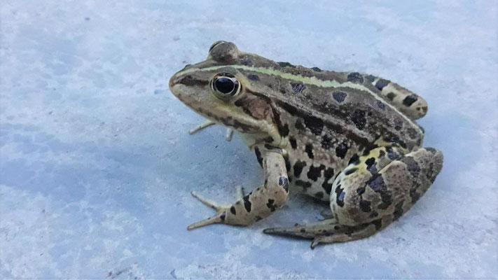 und ein echter Froschkönig