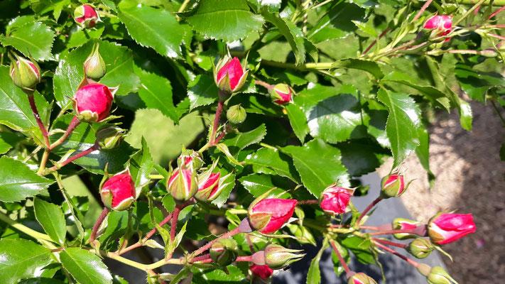 03.06. Das Rosenbäumchen steht in den Knospen