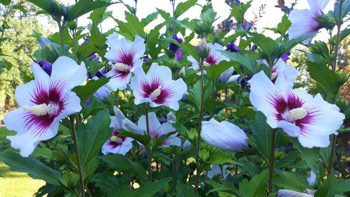 19.07. Weisse Hibiskusblüten