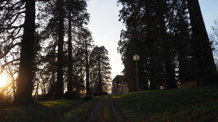 Es säumen noch einiges Mamutbäume die Allee zum Château von Issy L'Évêque