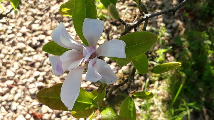 Die Magnolie blüht nach der Trockenheit ein zweites Mal